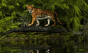 Bigcat Framed Prints - Jaguar Framed Print by Walter Colvin