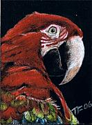 Macaw Drawings - Jake by Terri Flowers
