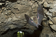 Frightening Posters - Jamaican Fruit Bat flying in a cave under a Maya ruin in Tikal  Poster by Hal Brindley