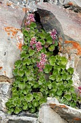 Green Foliage Posters - James Saxifrage (telesonix Jamesii) Poster by Bob Gibbons