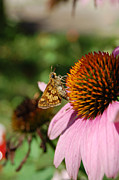 First Star Art Photos - jammer Echinacea and Moth by First Star Art