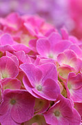 Japan, Kanagawa Prefecture, Sagamihara City, Close-up Of Pink Flowers Print by Imagewerks