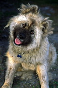 Japanese Dog Photos - Japanese Akita dog by Sally Weigand
