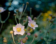 Japanese Anemones Print by Marcio Faustino
