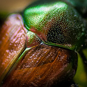 Bug Photos - Japanese Beetle by Gene Hilton