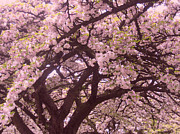 Limburg Photo Prints - Japanese blossom in Holland Print by Nop Briex