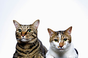 Two By Two Posters - Japanese Cat And Manx Cat On White Background, Close-up Poster by Ultra.f