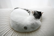 Curled Up Posters - Japanese Cat Poster by Junku