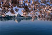 Tidal Basin Photos - Japanese Cherry Blossoms Prunus by Medford Taylor