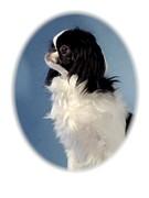 Japanese Chin Framed Prints - Japanese Chin 244 Framed Print by Larry Matthews