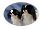 Japanese Chin Framed Prints - Japanese Chin 626 Framed Print by Larry Matthews