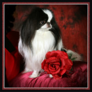 Pet Dog Pyrography Framed Prints - Japanese Chin and Rose Framed Print by Kathleen Sepulveda