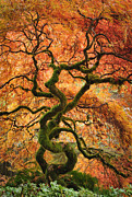 Greg Vaughn - Japanese Garden Maple...