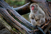 Wildliffe Posters - Japanese Macaque Poster by Keith Allen