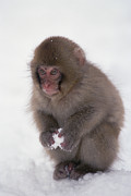 Primate Photo Prints - Japanese Macaque Macaca Fuscata Baby Print by Konrad Wothe