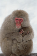Embracing Posters - Japanese Macaque Macaca Fuscata Mother Poster by Konrad Wothe