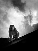 On Top Of Prints - Japanese Macaque On Roof Print by By Daniel Franco