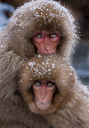 Honshu Photos - Japanese Macaques, Japanese Alps, Honshu Island, Japan by Mint Images/ Art Wolfe