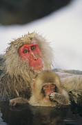 Macaques Prints - Japanese Macaques Macaca Fuscata Print by Roy Toft