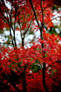 Frank DiGiovanni - Japanese Maple in the...