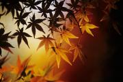 Allan Posters - Japanese Maple Leaf Poster by Allan Seiden - Printscapes