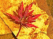 July Framed Prints - Japanese Maple Leaf on Sandstone Framed Print by Chris Berry