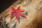 Turning Leaves Prints - Japanese Maple Leaf Print by Ulrich Schade