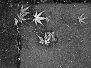 Stepping Stones Pyrography Prints - Japanese Maple Leaves Print by Ellen Miffitt