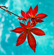 Red Leaves Acrylic Prints - Japanese Maple Leaves Acrylic Print by Katie Dees