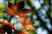 Dappled Light Posters - Japanese Maple Leaves Poster by Lori Coleman