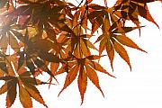 Red Leaves Photos - Japanese Maple by Panos Trivoulides