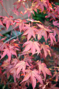 Disability Digital Art Prints - Japanese Maple Print by Sherry Leigh Williams
