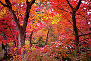 Japanese Fall Foliage Framed Prints - Japanese Maple Trees Framed Print by I love Photo and Apple.
