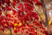 Japanese Maple Prints - Japanese Maples Print by Susan Cole Kelly