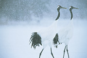 Winter Scenes Photos - Japanese Or Red-crowned Cranes by Tim Laman