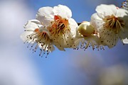 Flower-in-bloom Prints - Japanese Plum Flowers Print by T. Kurachi
