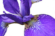 Purple Irises Prints - Japanese Purple Iris Flower Macro II Print by Jennie Marie Schell