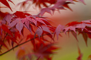 Chad Davis Acrylic Prints - Japanese Red Leaves Acrylic Print by Chad Davis