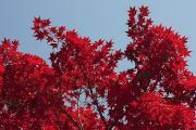Howard County Posters - Japanese Red Maple In Flaming Autumn Poster by George Grall