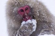 Tasting Photos - Japanese Snow Monkey by Natural Selection Anita Weiner