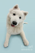 Japanese Dog Posters - Japanese Spitz Dog Poster by Mark Taylor