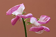 Flower Photos Posters - Japanese Sweet Pea Poster by Juergen Roth
