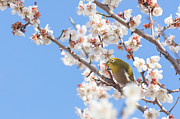 Animals In The Wild Posters - Japanese White-eye At Which It Looks Poster by Yuji Takahashi