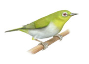 Japanese White Eye Posters - Japanese white eye Poster by Lionel Portier