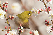 Eating Animals Framed Prints - Japanese White-eye Framed Print by Yuji Takahashi