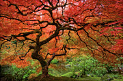 Red Autumn Posters - Japenese Garden, Portland Poster by Jesse Estes