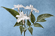 Macro Digital Art Framed Prints - Jasminum officinale Framed Print by John Edwards