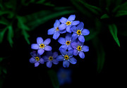 Blue Flowers Photos - Jasper - Alpine Forget - Me - Not by Terry Elniski