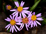 Aster  Framed Prints - Jasper - Arctic Aster Wildflower Framed Print by Terry Elniski