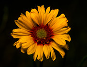 Yellow And Brown Posters - Jasper - Brown-eyed Susan Poster by Terry Elniski